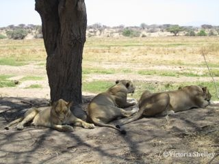 Lioness, cub and sub-adult resting in the afternoon heat