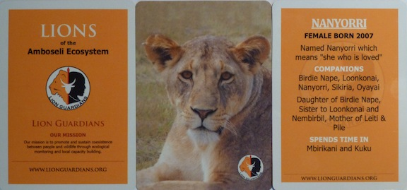 "The new ""Lions of the Amboseli Ecosystem"" Trading Cards."