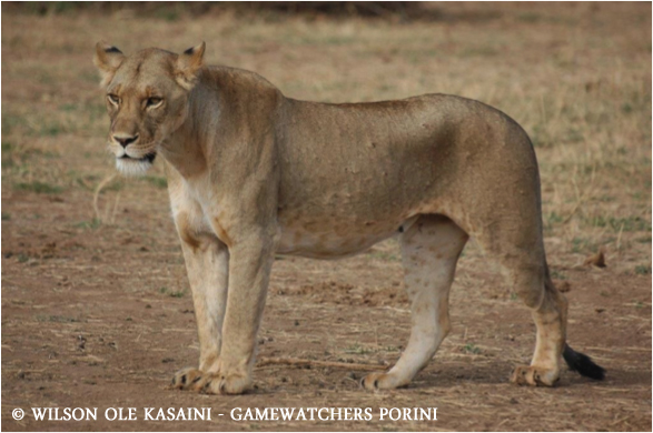 Lioness named Nanu