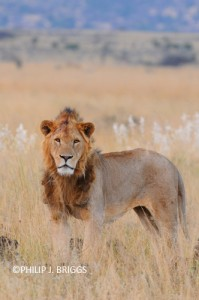 world lion day 2