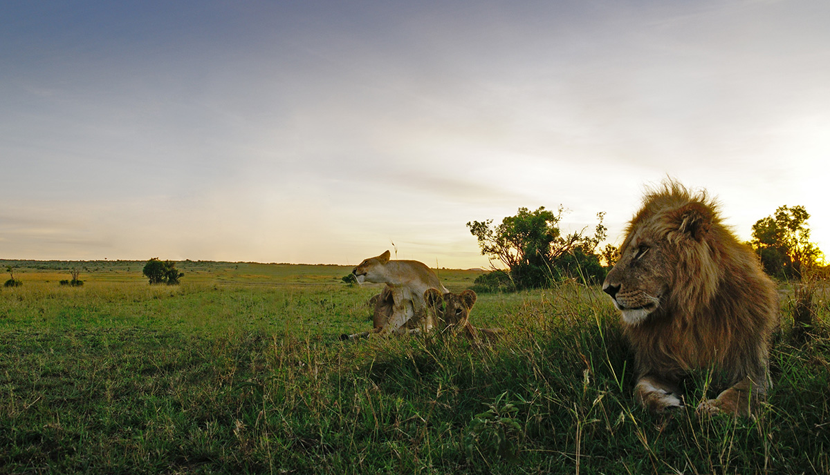 An Estimated 50% of Africa's Lions have disappeared.