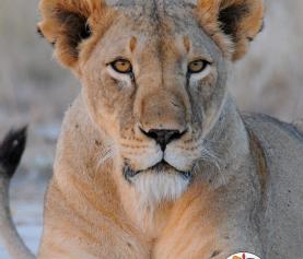 How Some Lions Learn a Dangerous Habit
