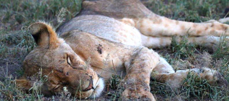 Drought of the lions: what is good for one may be bad for another!