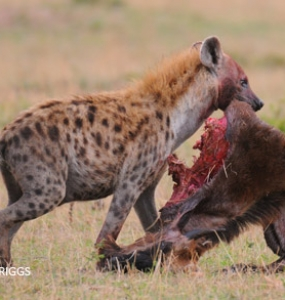 Hyenas on the rampage