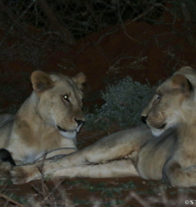 Familiar Faces in the Eselenkei Conservancy