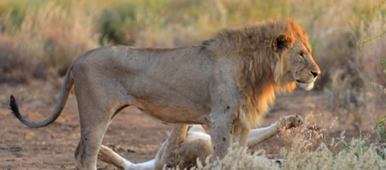 The future kings of Amboseli