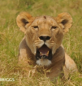 Lioness killed inside Amboseli Park