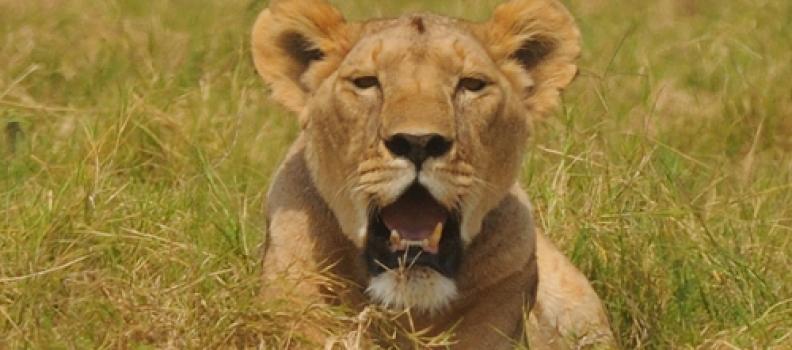 Lioness killed inside Amboseli Park