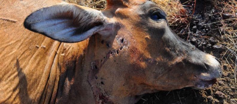 Nemasi's first cow