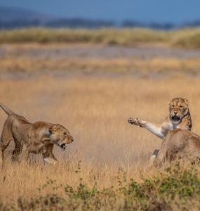 A memorable moment during the Lion Census