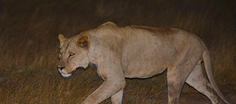 Kimana's Mystery Lion is Identified!